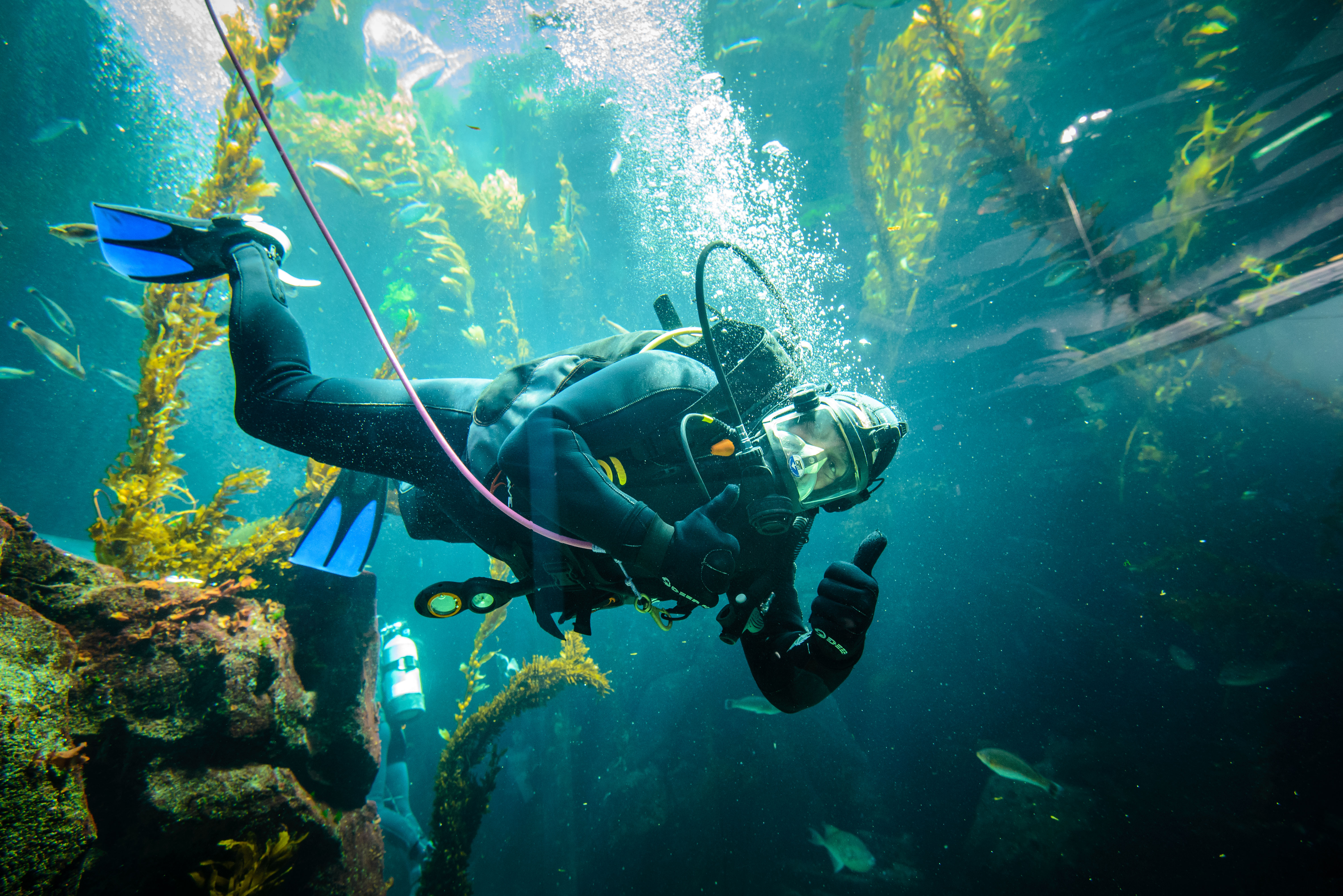 Diver giving thumbs up inside Ecosystems Kelp Tank