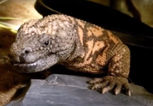 A close-up of a Gila monster's face and front left leg