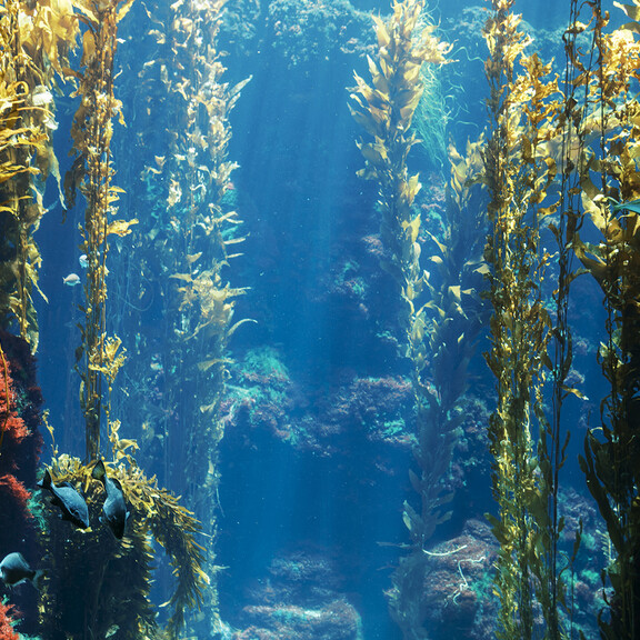 Kelp Forest aquarium tank with live seaweed