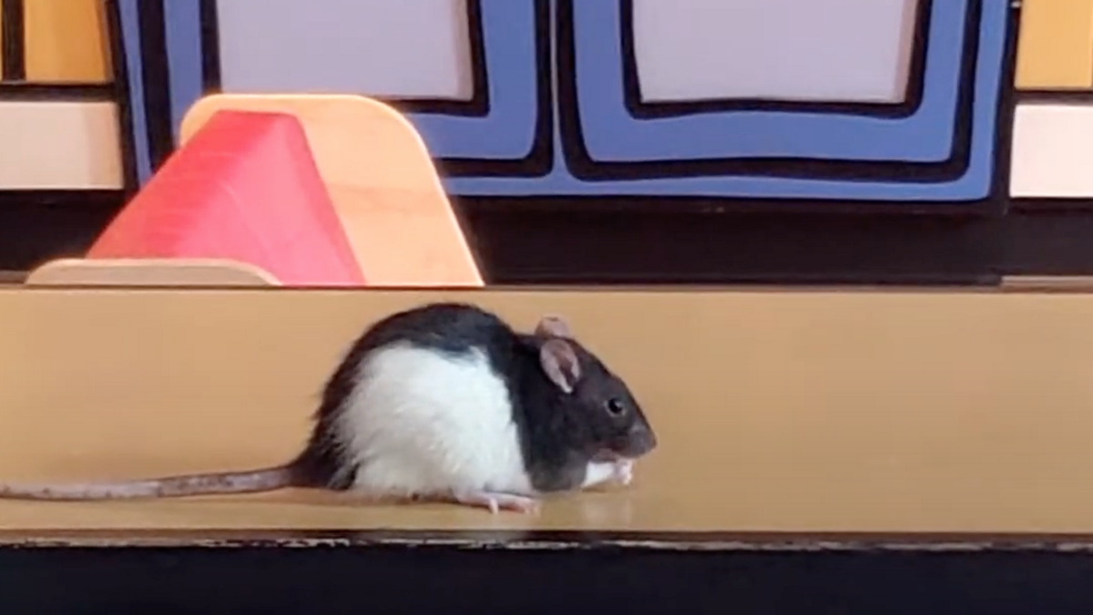 A black and white rat munches a treat.